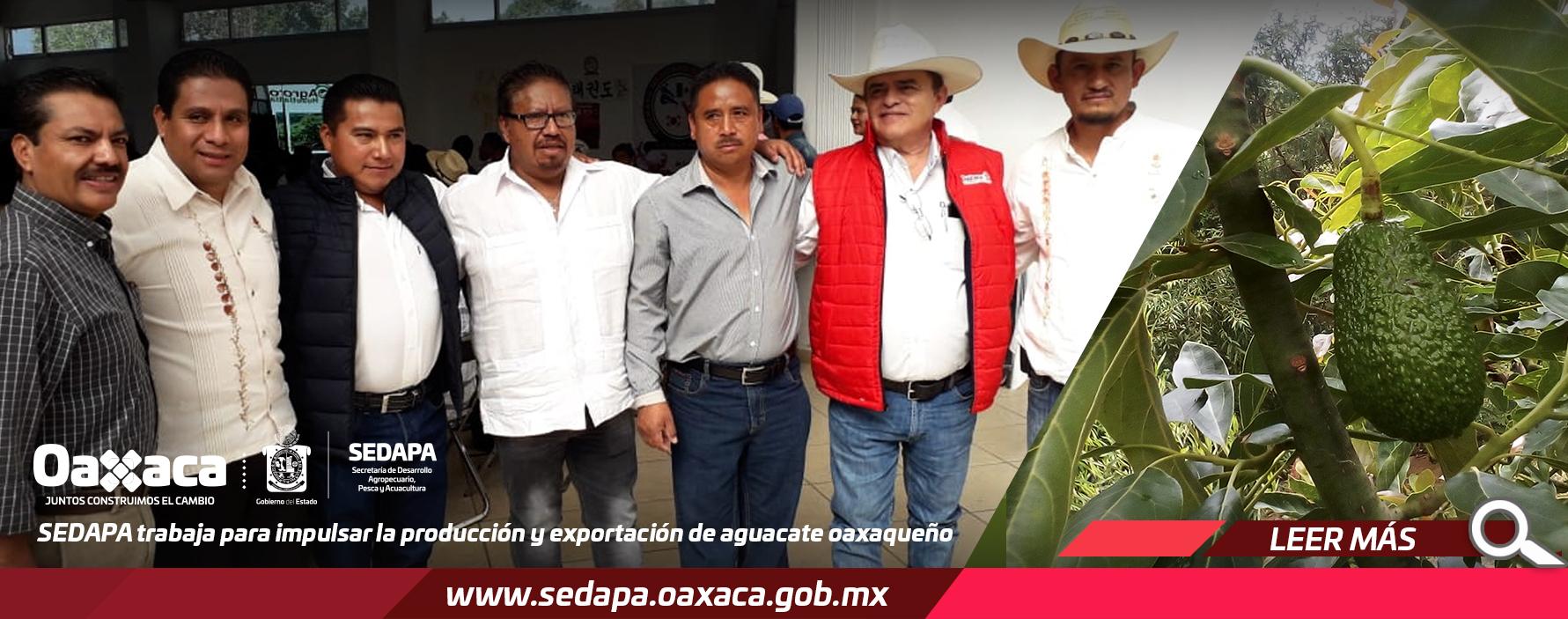 Sedapa trabaja para impulsar la producción y exportación de aguacate oaxaqueño.