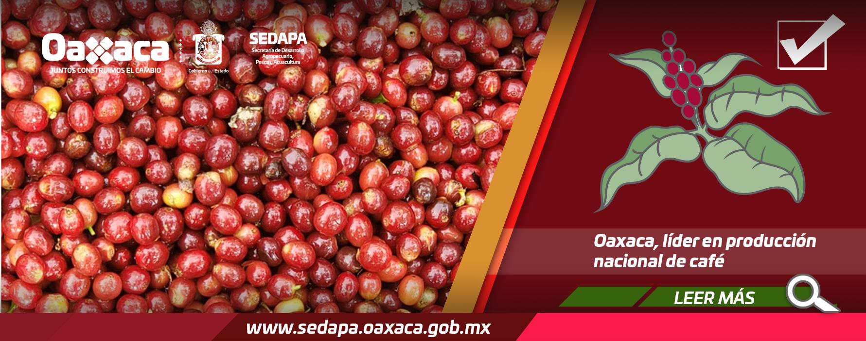 Oaxaca, líder en producción nacional de café.