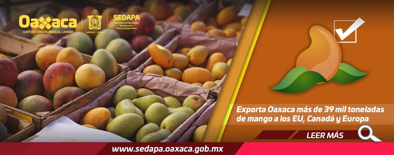 Exporta Oaxaca más de 39 mil toneladas de mango a los EU, Canadá y Europa